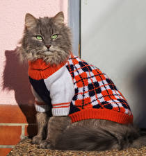 Фотографии Кошка Смотрит Униформа Свитере Животные