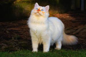 Обои Кот Смотрит Белых животное
