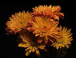 Картинки Хризантемы Крупным планом На черном фоне Оранжевых Цветы