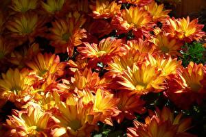 Фотография Хризантемы Много Крупным планом