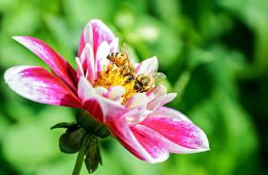Картинка Вблизи Пчелы Насекомое Цветы