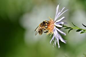 Обои Вблизи Пчелы Насекомое Боке животное