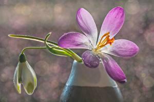 Фотографии Крупным планом Крокусы Боке Капли цветок