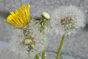Обои для рабочего стола Вблизи Одуванчики цветок