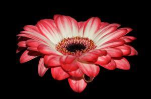 Обои для рабочего стола Крупным планом Гербера Черный фон Розовые цветок