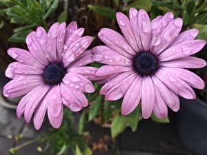 Обои для рабочего стола Вблизи Двое Фиолетовые Капля Osteospermum цветок