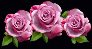 Обои Крупным планом Розы На черном фоне Три Розовый Цветы