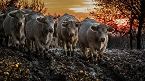 Фото Корова Грязный Животные