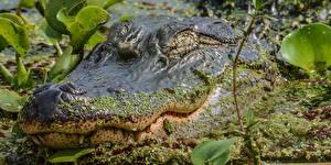 Картинка Крокодилы Крупным планом Голова