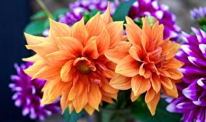 Обои Георгины Крупным планом Оранжевых Цветы