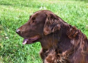 Обои Собаки Ирландский сеттер Сбоку Головы Язык (анатомия) Коричневые Животные