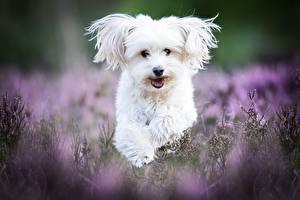 Картинки Собака Мальтезе Белые Животные