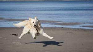 Фотография Собаки Белые Смешные Бежит
