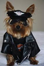 Обои Собака Йоркширский терьер Униформа Полицейская Очки Куртки животное