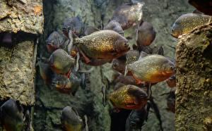Фотография Рыбы Piranhas