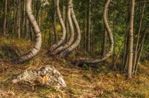 Фотографии Лес Камни Ствол дерева HDRI Березы