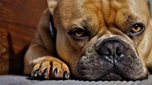 Фотография Французский бульдог Вблизи Глаза Смотрит Лап Морды животное