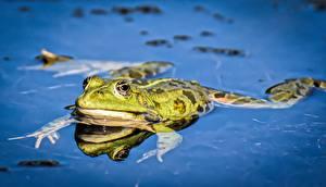 Картинки Лягушка Крупным планом Вода Лап Животные