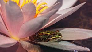 Фотография Лягушки Лилии Животные
