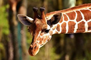 Картинка Жирафы Крупным планом Голова Морды Животные
