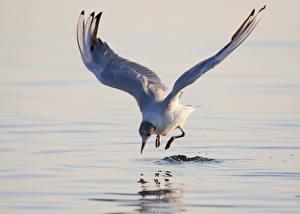 Фотографии Чайки Птицы Воде Животные