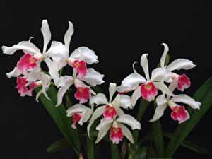 Картинка Орхидеи Вблизи Черный фон Белый цветок