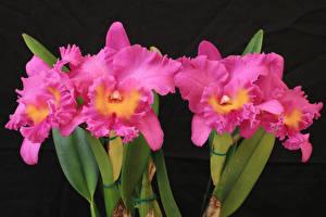 Картинка Орхидея Вблизи Розовая цветок