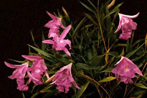Картинка Орхидея Розовая Sobralia macrantha цветок