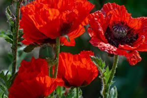 Фотография Мак Вблизи Красный Цветы