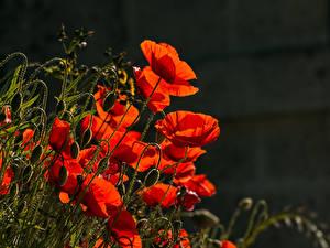 Фотографии Мак Красная Бутон Цветы