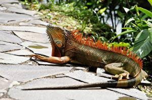 Картинка Рептилии Игуана Хвоста Животные