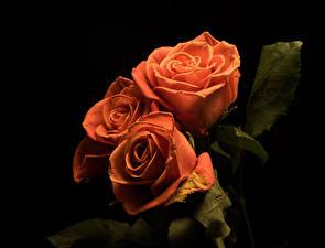 Фотографии Роза Черный фон Втроем Оранжевая Цветы