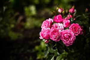 Обои Розы Размытый фон Кусты цветок