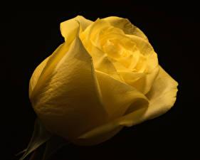 Фотография Розы Вблизи На черном фоне Желтые цветок