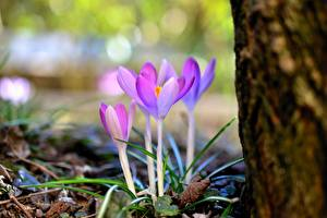 Обои Весенние Шафран Боке Фиолетовая цветок