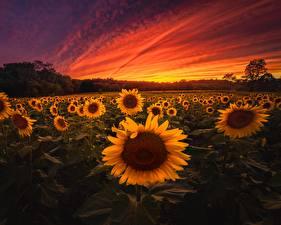 Фотография Рассветы и закаты Подсолнечник Поля Природа