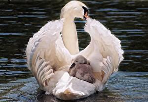 Картинка Лебеди Птенец Мать Два