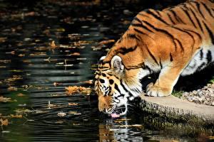 Обои Тигр Листья Сбоку Пьет воду животное