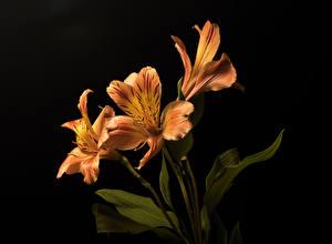 Фотография Альстрёмерия На черном фоне Трое 3 Оранжевая Цветы
