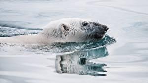 Фотография Медведь Белые Медведи Воде Плавает Головы животное