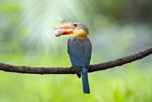 Фото Птицы Рыбы Обыкновенный зимородок Ветки Клюв Охоте Животные