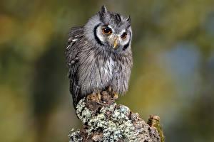 Картинки Птица Совы Southern white-faced owl