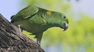 Картинки Птицы Попугаи Зеленый Amazon Животные