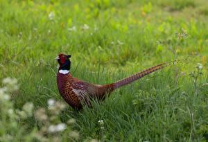 Обои Птицы Траве Хвост Pheasant животное