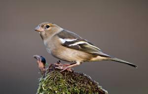 Картинка Птицы Мха chaffinch-female животное