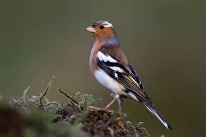 Картинка Птица Ветвь Мха chaffinch-male животное