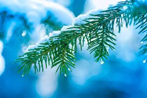 Обои Ветвь Снега Капля Ели Природа