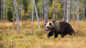 Фотография Медведи Бурые Медведи Траве животное