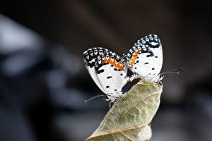 Фотографии Бабочка Двое Боке Животные