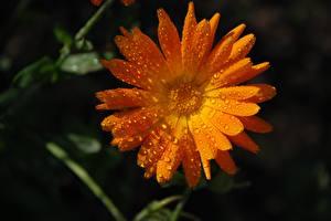 Картинка Календула Крупным планом Капля Оранжевые цветок
